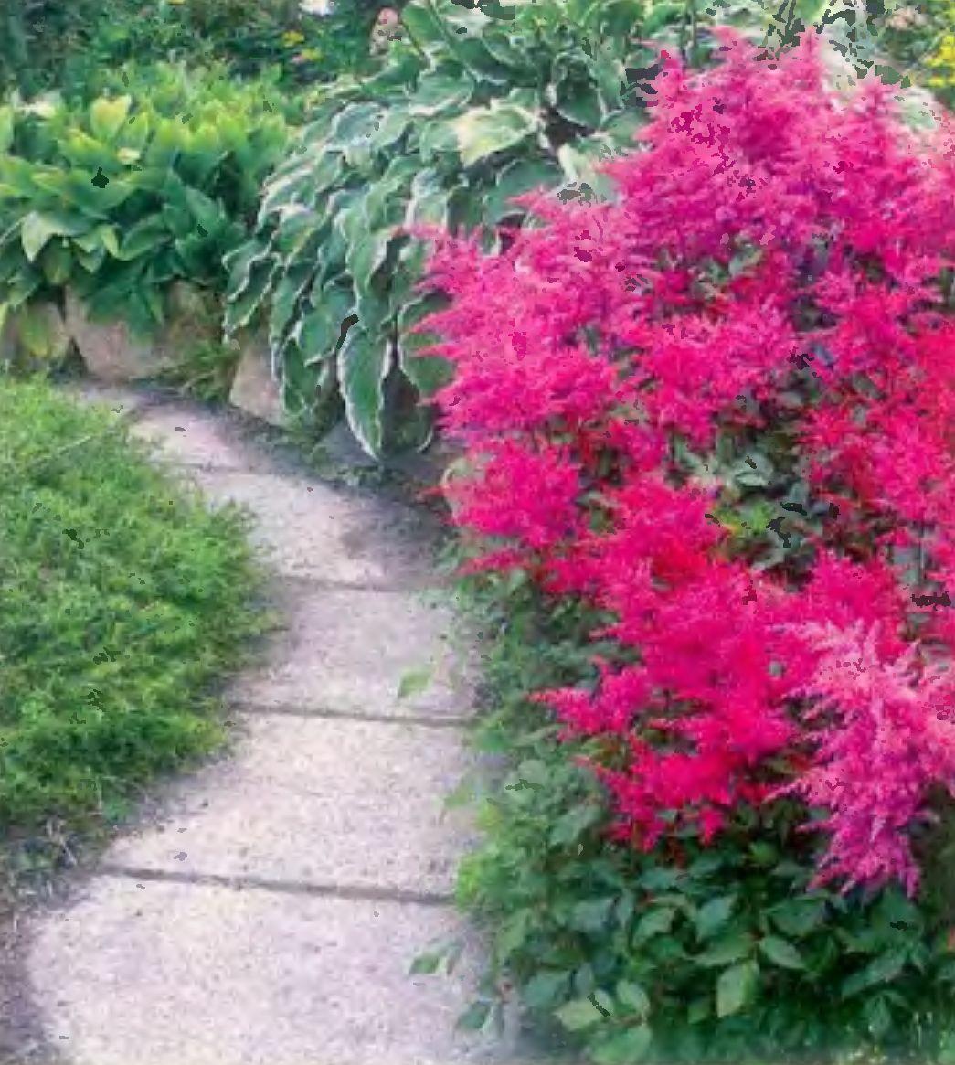Астильба цветы описание и фото
