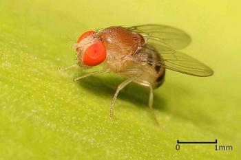 Серые мясные мухи — Википедия