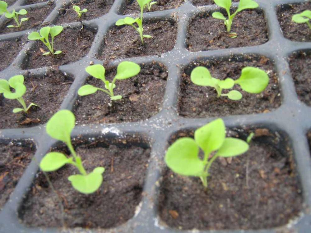 Когда сажать петунии весной в открытый грунт 11