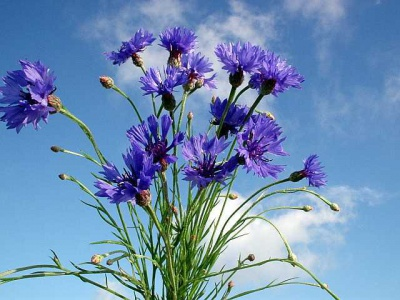 Цветок василек википедия